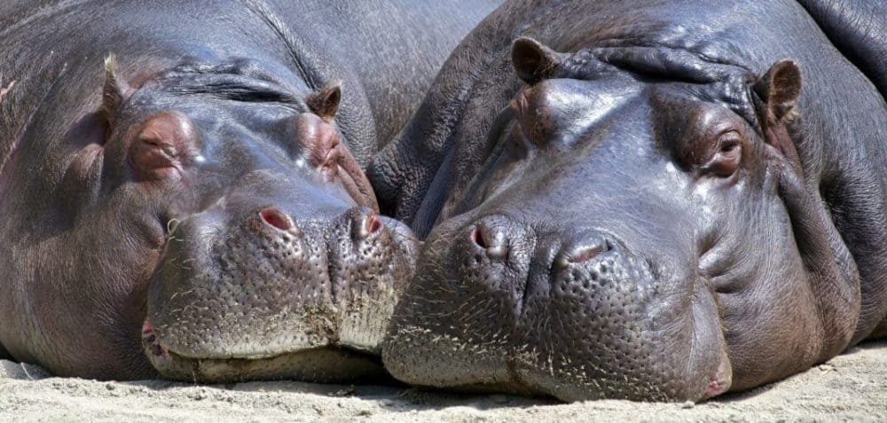 Hippo bite kills Taiwan tourist in Kenya