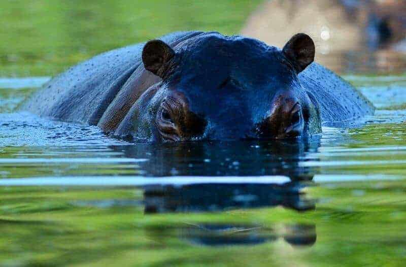 Higher-than-normal water levels were causing hippos to wander from the lake on to nearby farms and hotel properties searching for pasture.
