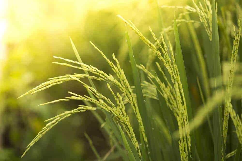 gạo giúp ngăn ngừa hiv