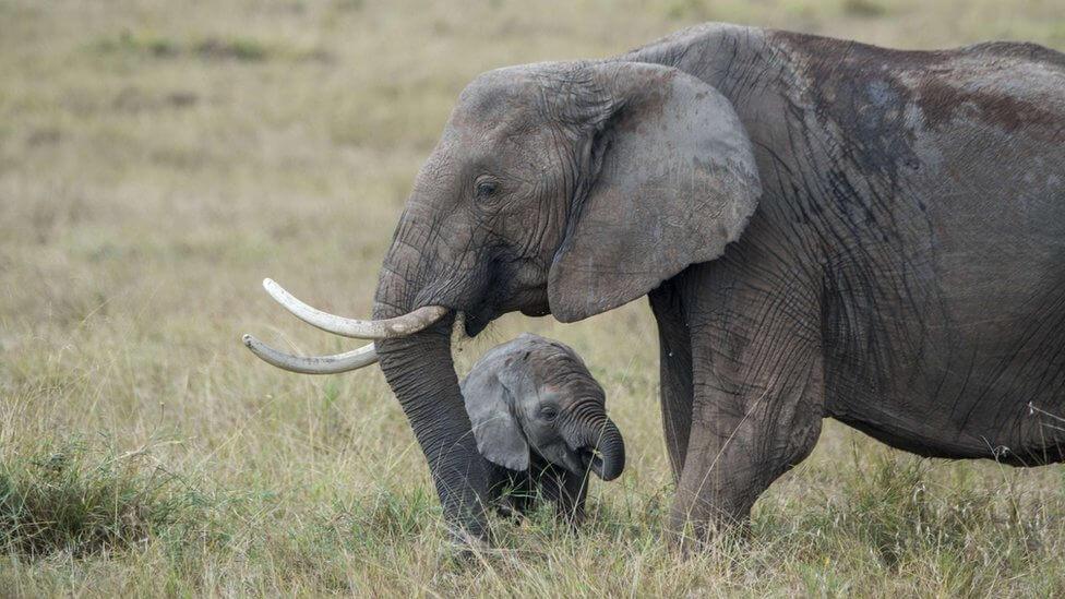 Cấm hành vi bán voi con cho các vườn thú